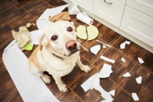 48628906 - naughty dog - lying dog in the middle of mess in the kitchen.